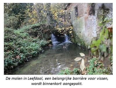 De molen in Leefdaal, een belangrijke barrière voor vissen, die binnenkort wordt aangepakt.