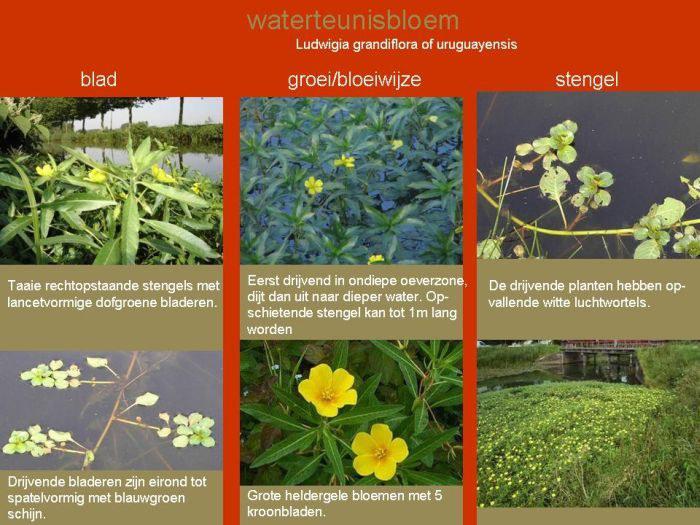 Infofiche waterteunisbloem